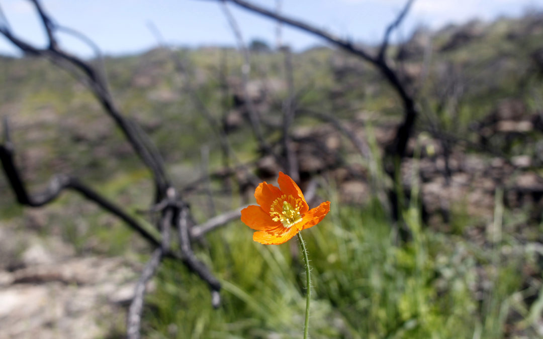 The Fire Poppy (Papaver californicum) is known as a fire follower that gets its germination cue from the smoke of a wildfire. Photo by Jorgen Gulliksen - Land Trust of Napa County